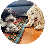 Two Lagotto Romagnolo puppies adopted from Amico Roma Puppies. A testimonial of Amico Roma Puppies and their knowledge on truffle dogs