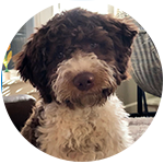 Apa the brown and white Lagotto puppy. A testimonial of Amico Roma Puppies genuine interest and passion for Lagotto Romagnolo